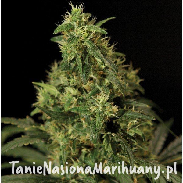 Northern Light - The Bulldog Seeds