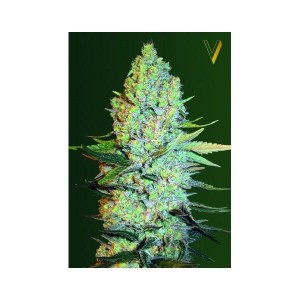 Amnesia - Victory Seeds