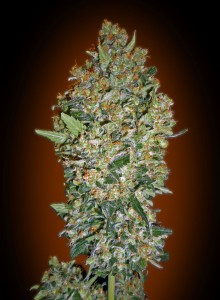 Feminized Collection #1 - 00 SEEDS BANK