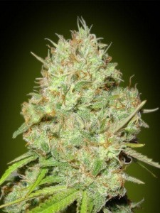 Shark Widow - ADVANCED SEEDS