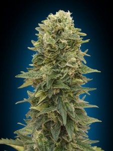Female Mix - 00 SEEDS BANK