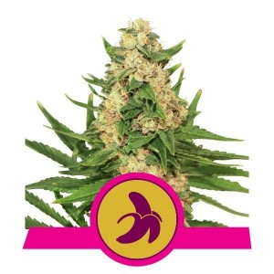 Fat Banana - ROYAL QUEEN SEEDS