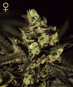 Exodus Cheese - GREEN HOUSE SEEDS