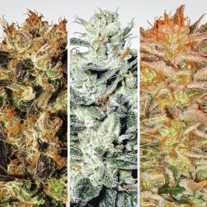 Indica Champions - PARADISE SEEDS