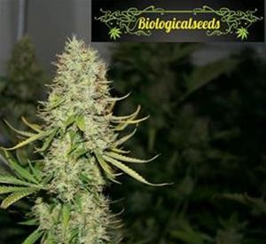 Auto Amnesia - Biological Seeds