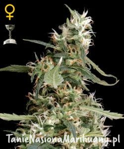 Arjan's Ultra Haze #1 - GREEN HOUSE SEEDS