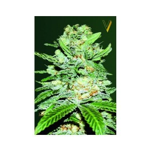 Auto Jack Herer - Victory Seeds