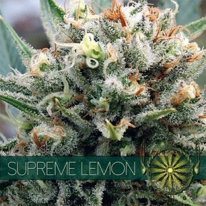 Supreme Lemon - Vision Seeds