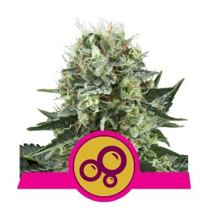 Bubble Kush 1+1 - ROYAL QUEEN SEEDS