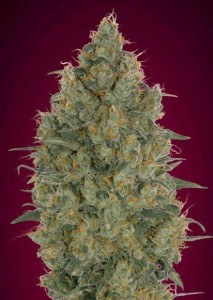 Strawberry Gum - ADVANCED SEEDS
