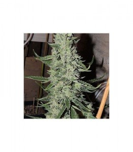 O.D.B. (Old Dirty Biker) - KARMA GENETICS