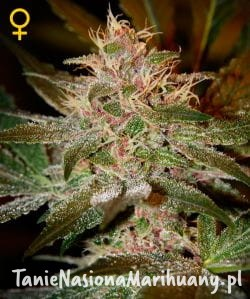 Pure Kush - GREEN HOUSE SEEDS