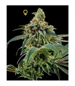 24 Gold - DNA GENETICS