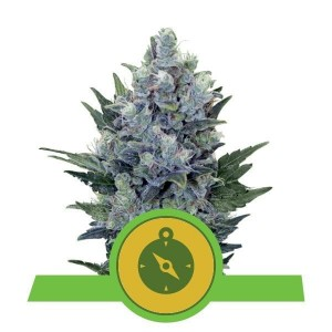 Northern Light Automatic 1+1 - ROYAL QUEEN SEEDS