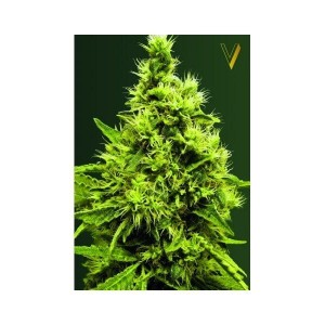 White Widow - Victory Seeds