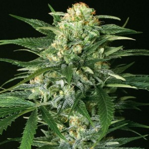 Gipsy Widow - EXOTIC SEED