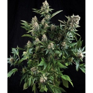 Auto White Widow - PYRAMID SEEDS