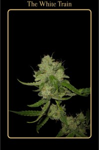 The White Train - MEPHISTO GENETICS