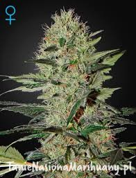 Exodus Cheese Auto - GREEN HOUSE SEEDS