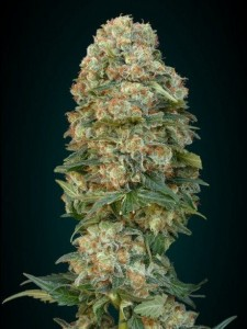 Afghan Skunk - ADVANCED SEEDS
