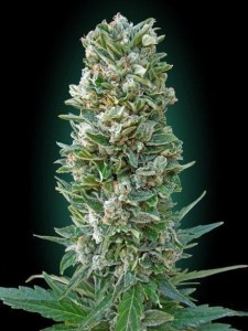 Heavy Bud - ADVANCED SEEDS