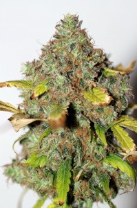 Power Africa - SEEDSMAN