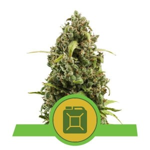 Diesel Automatic 1+1 - ROYAL QUEEN SEEDS