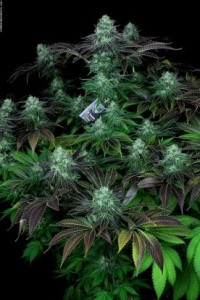 Darkstar Kush - T.H. SEEDS