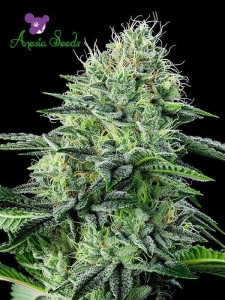 Auto Strawberry Banana - Anesia Seeds