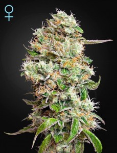 King's Kush Auto CBD - GREEN HOUSE SEEDS