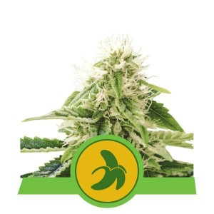 Fat Banana Automatic 1+1 - ROYAL QUEEN SEEDS