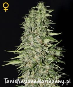 Diamond Girl - GREEN HOUSE SEEDS