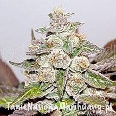 Mendocino X Purple Kush - MEDICAL SEEDS