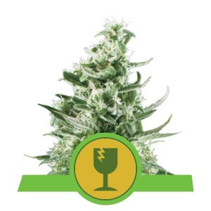 Royal Critical Automatic 1+1 - ROYAL QUEEN SEEDS