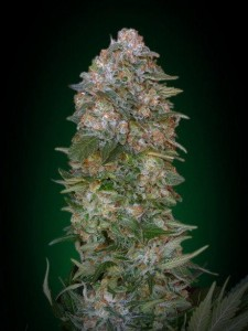 Critical Soma - ADVANCED SEEDS