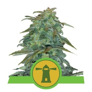 Royal Haze Automatic 1+1 - ROYAL QUEEN SEEDS
