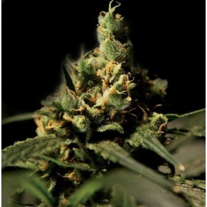 Citral Skunk - THE BULLDOG SEEDS