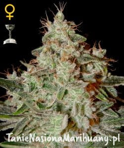 Lemon Skunk - GREEN HOUSE SEEDS