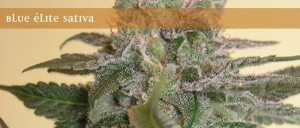 Blue Elite Indica - ELITE SEEDS