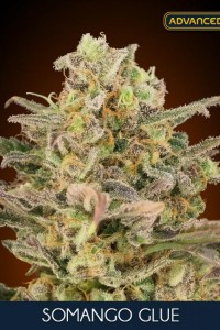 Somango Glue - ADVANCED SEEDS
