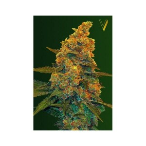 Auto Blue Dream - Victory Seeds