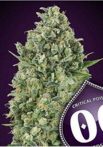Critical Poison - 00 SEEDS BANK
