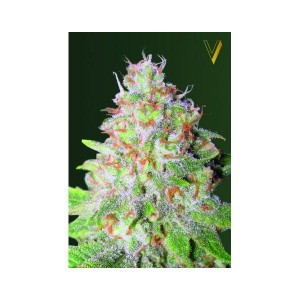 Auto Great White Shark - Victory Seeds