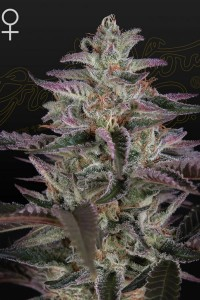 Banana Krumble - GREEN HOUSE SEEDS