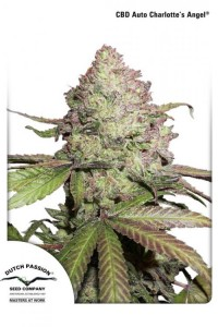 CBD Auto Charlotte's Angel - DUTCH PASSION
