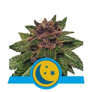 Purplematic CBD Auto 1+1 - ROYAL QUEEN SEEDS