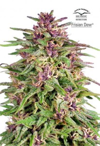 Frisian Dew - DUTCH PASSION
