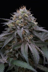 Sugar Breath - Humboldt Seeds