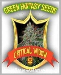 Critical Widow - GREEN FANTASY SEEDS