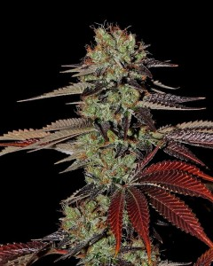 King's Kush Autoflowering - GREEN HOUSE SEEDS